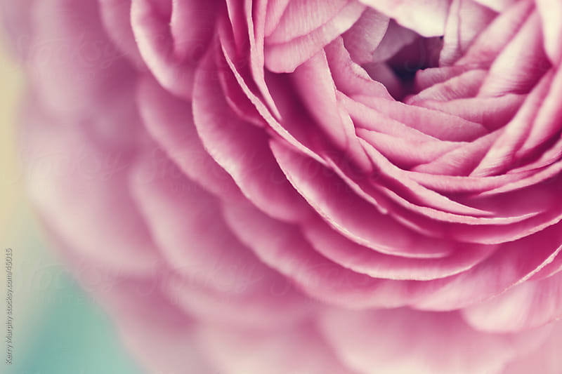 Pink ranunculus flower bloom macro by Kerry Murphy for Stocksy United