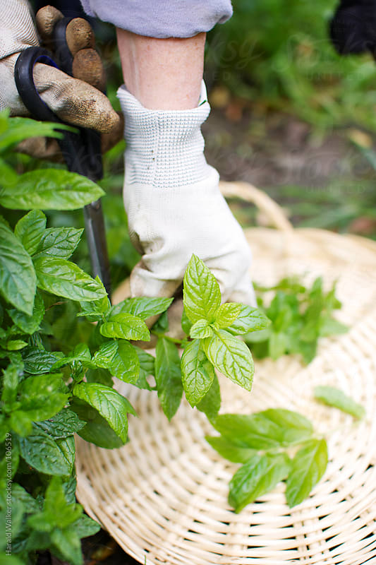 Harvesting peppermint by Harald Walker for Stocksy United