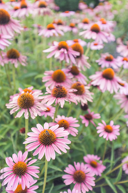 Large field of purple coneflowers. by Melissa Ross for Stocksy United