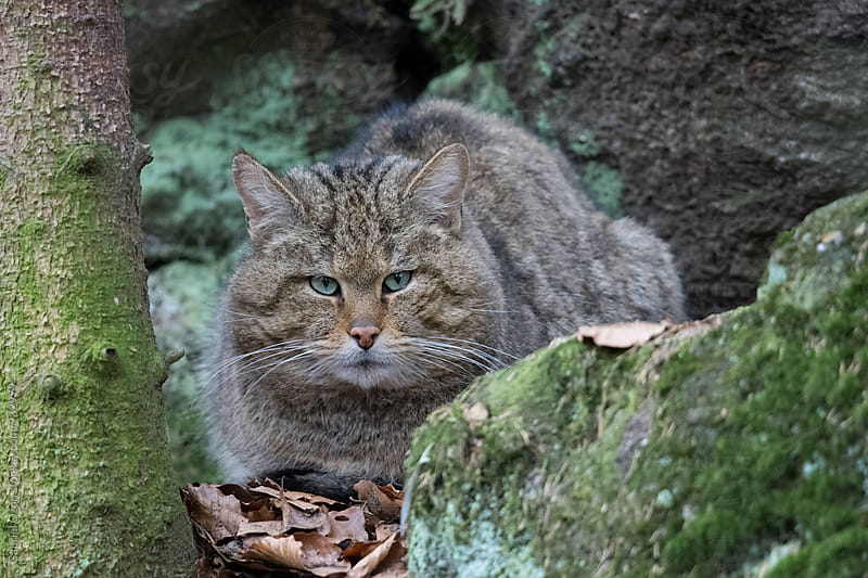 European wildcat (Felis silvestris silvestris) by Gabriel Ozon for Stocksy United