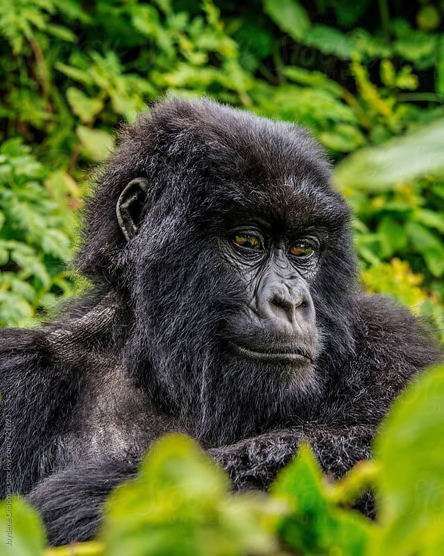 Portrait of sitting gorilla, National Park, Rwanda, Africa by Jaydene Chapman for Stocksy United