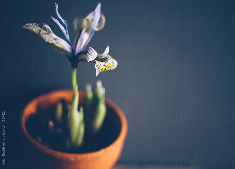 Miniature Iris flowers in a clay pot. by Helen Rushbrook for Stocksy United