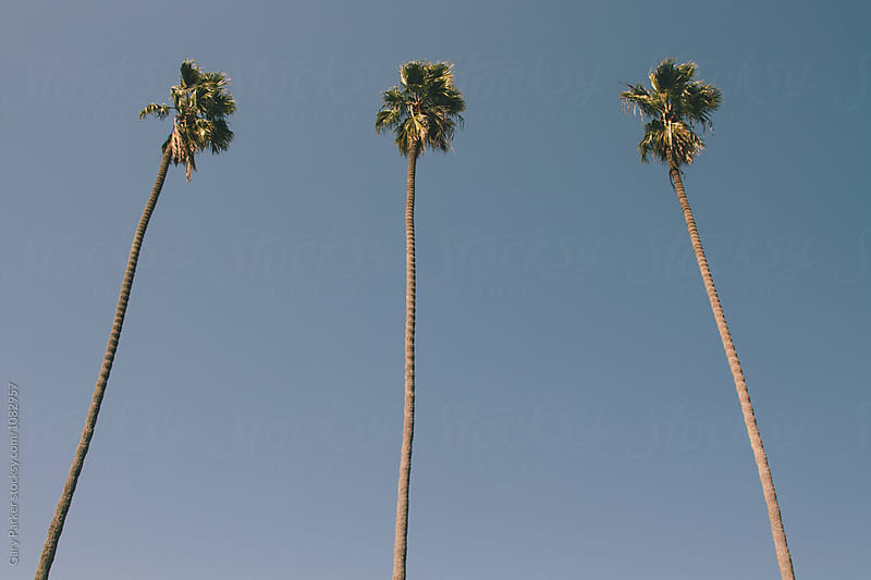 Palm Trees  by Gary Parker for Stocksy United