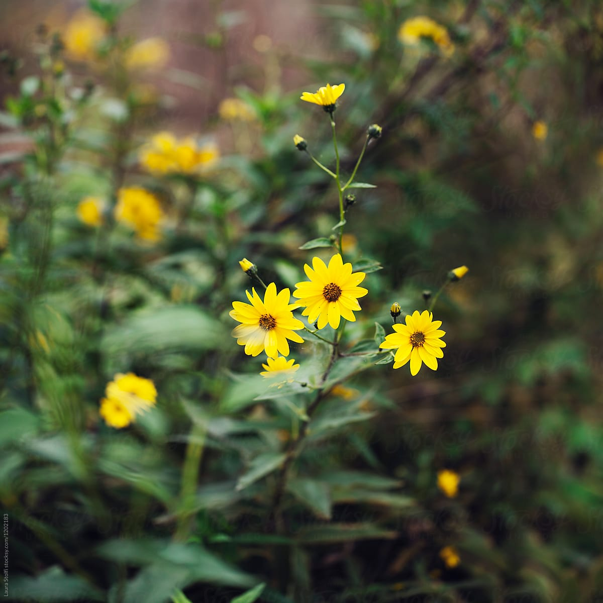 Sunchoke Plant With Yellow Flowers In Bloom Stocksy United