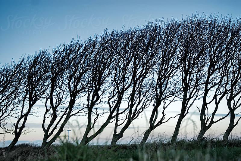 trees shaped by the wind by Jan Bijl for Stocksy United