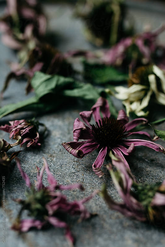 Dried blossoms of echinacea flowers for tea by Gabriel (Gabi) Bucataru for Stocksy United