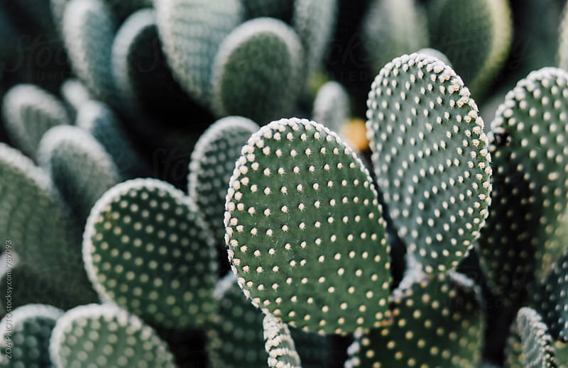 Cactus by ZOA PHOTO for Stocksy United