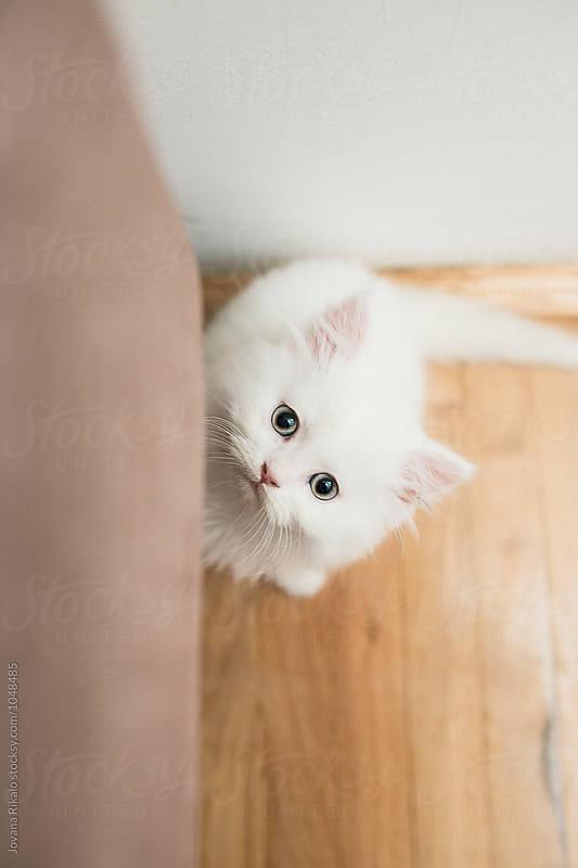 Persian kitty looking at camera by Jovana Rikalo for Stocksy United