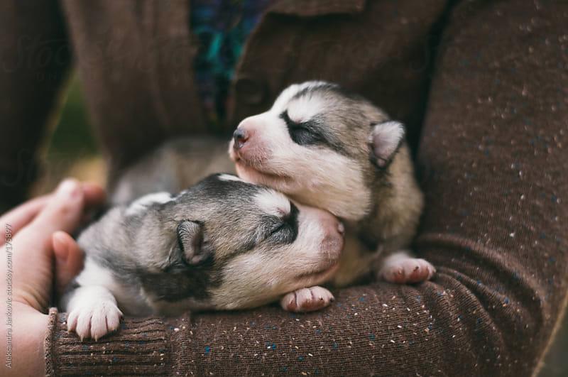 Two husky puppies by Aleksandra Jankovic for Stocksy United