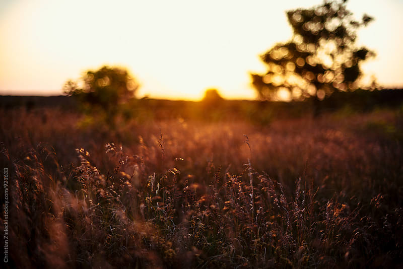 Grass in sunset light by Chris Zielecki for Stocksy United