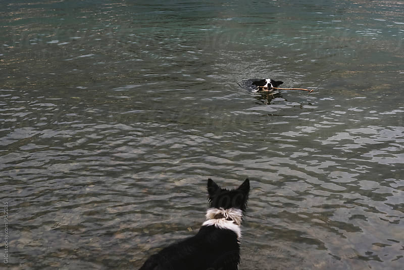 Dogs playing in the water by Simone Becchetti for Stocksy United