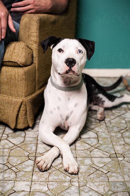 black and white pittbull mix dog sitting beside chair on floor by J Danielle Wehunt for Stocksy United