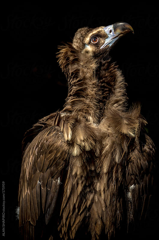 Cinereous Vulture Portrait by alan shapiro for Stocksy United