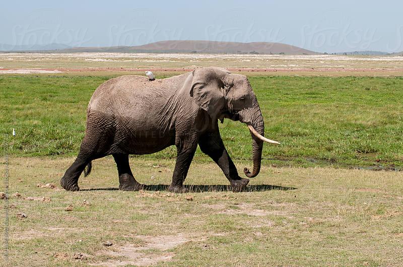 Mudy elephant walking by Marta Muñoz-Calero Calderon for Stocksy United