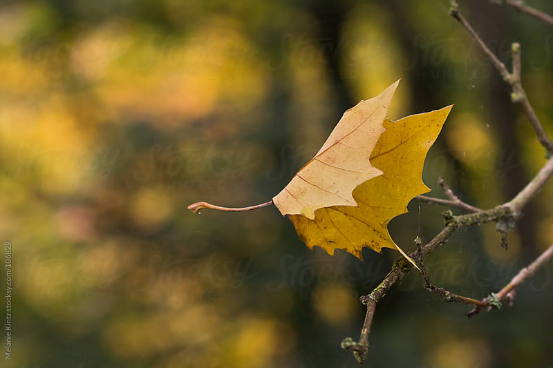 Yellow leaf caught in its fall by another branch by Melanie Kintz for Stocksy United