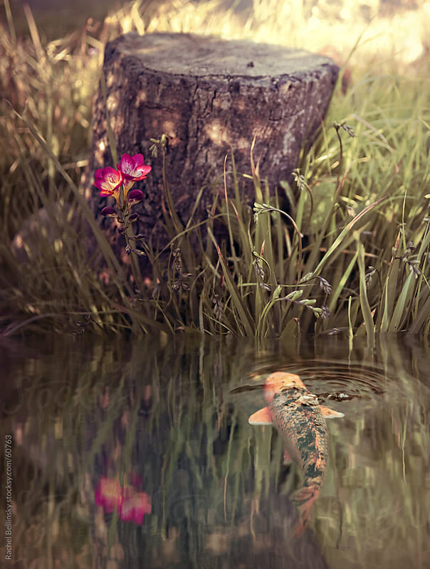 A peaceful scene with koi fish and tree stump at the edge of a pond by Rachel Bellinsky for Stocksy United