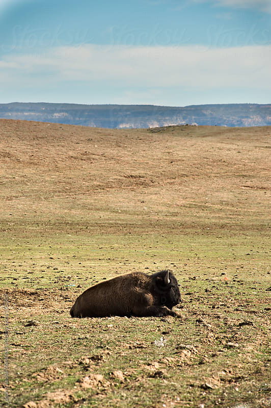 Bison in a prairie by Jean-Claude Manfredi for Stocksy United
