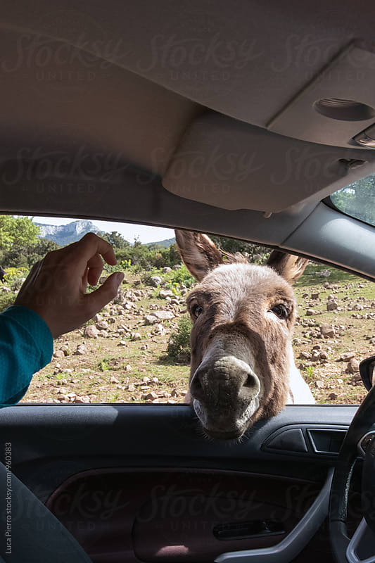 Donkey looking for food in a car by Luca Pierro for Stocksy United