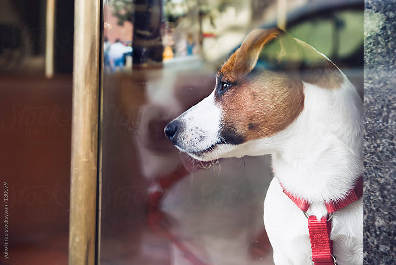 A curious dog, watching people outside,  In the window by yuko hirao for Stocksy United