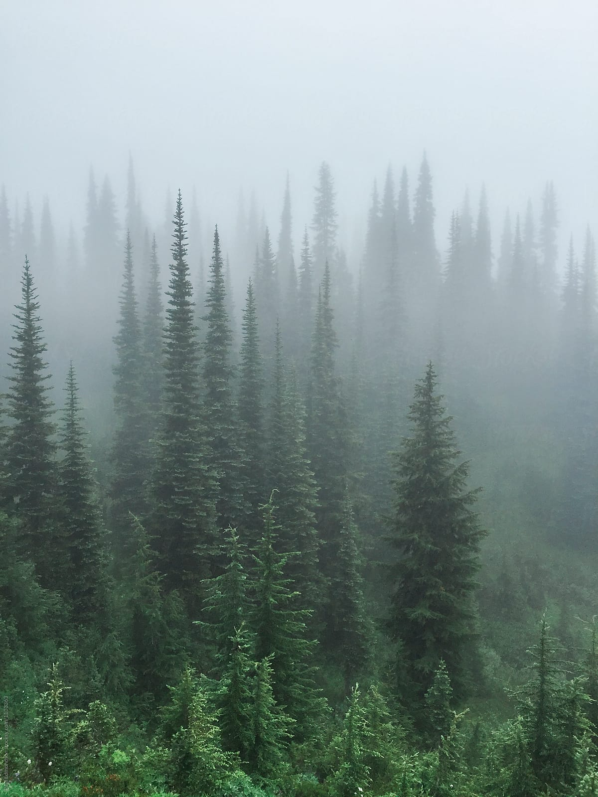 Alpine Evergreen Trees And Forest In Dense Fog North