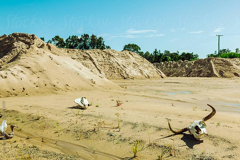 Animal skulls in desert by Image Supply Co for Stocksy United