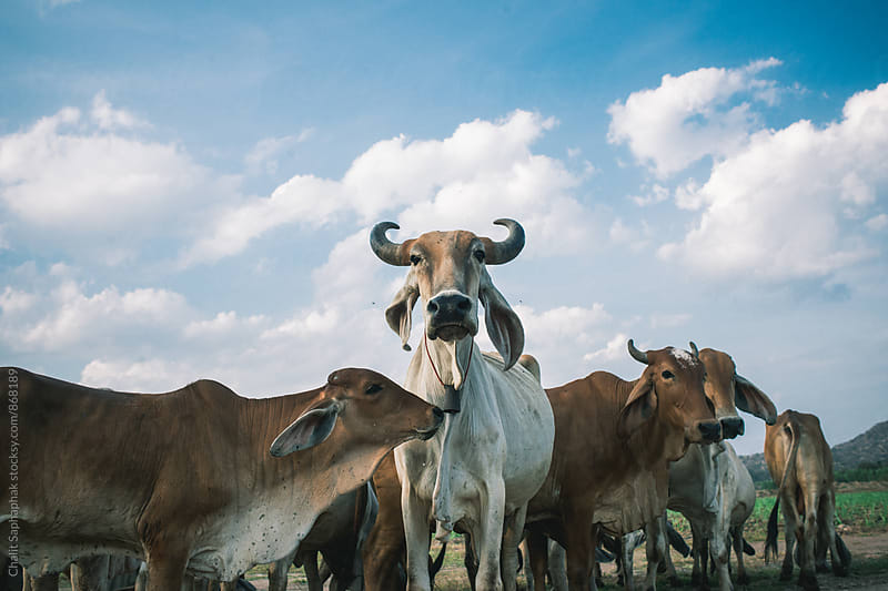 Cows by Chalit Saphaphak for Stocksy United