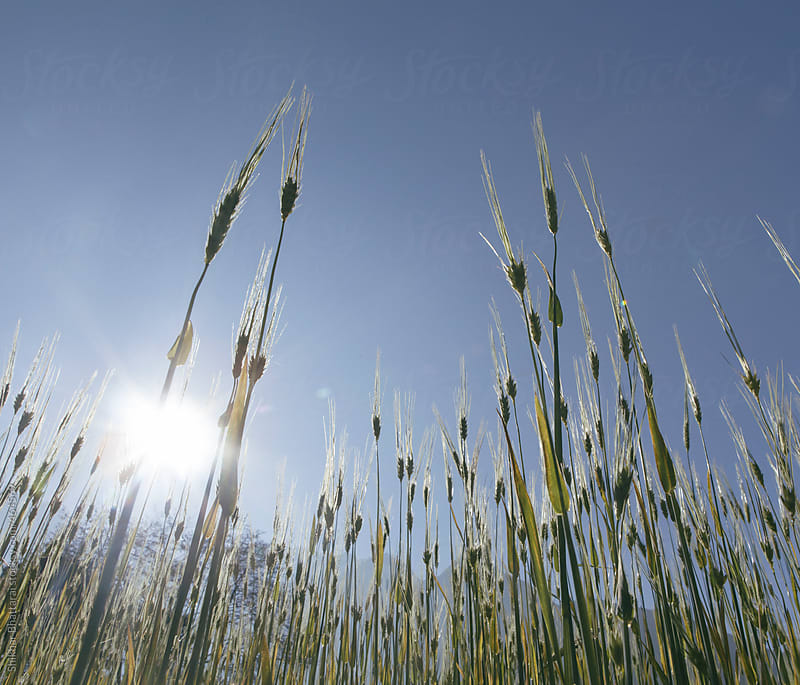Low angle shot of wheat growing in the field against a clear blue sky. by Shikhar Bhattarai for Stocksy United