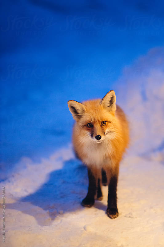 Red fox standing in snow at night by Angela Lumsden for Stocksy United