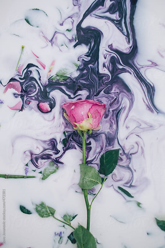 Pink rose immersed in purple colored milk by Jovo Jovanovic for Stocksy United