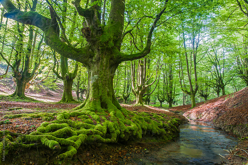 The Old Beech Forest by Marilar Irastorza for Stocksy United