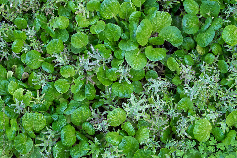 Organic Salad Greens by Rowena Naylor for Stocksy United
