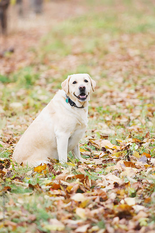 A golden lab sits in fall leaves by Tana Teel for Stocksy United