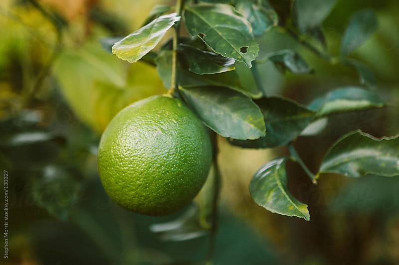 Green Lemon on Tree by Stephen Morris for Stocksy United