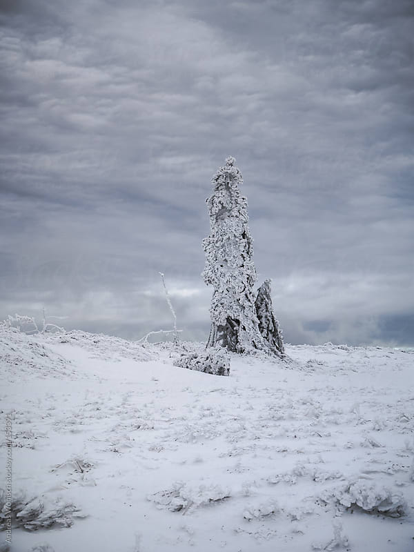 Lonely, snow covered fir after storm by Andreas Wonisch for Stocksy United
