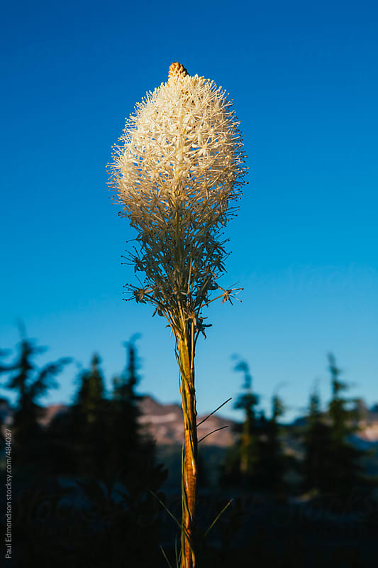 Blooming beargrass at dusk by Paul Edmondson for Stocksy United