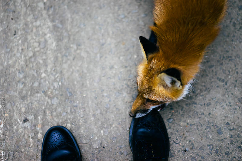 Red fox chewing on photographer's shoe by Manuel Chillagano for Stocksy United