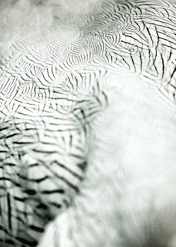 Close up of black and white bird feathers by Jaydene Chapman for Stocksy United