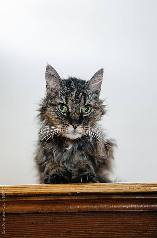 Ragged elderly tiger cat sits on the top step by Cara Dolan for Stocksy United