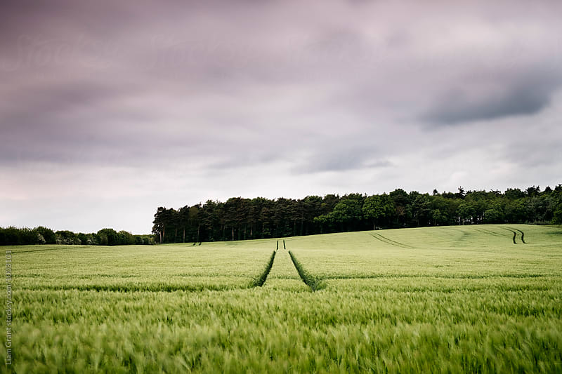 Track through a field of fresh barley blowing in the wind. Norfolk, UK. by Liam Grant for Stocksy United