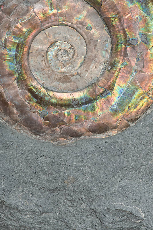 Ammonite fossil in shale closeup by Mark Windom for Stocksy United