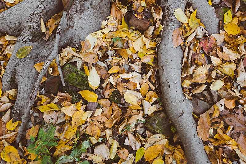 Closeup image of tree roots amongst fallen autumn leaves by kelli kim for Stocksy United