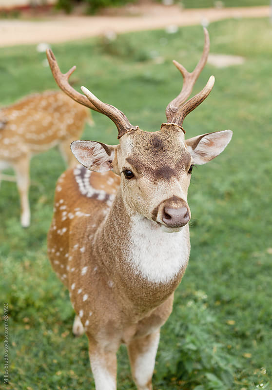 Young deer stag by Milles Studio for Stocksy United