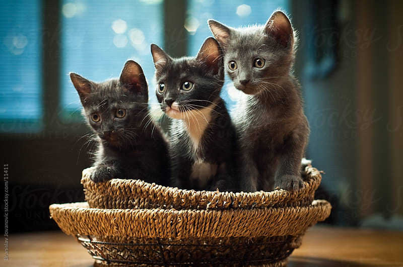 Three curious kittens in a basket by Branislav Jovanović for Stocksy United