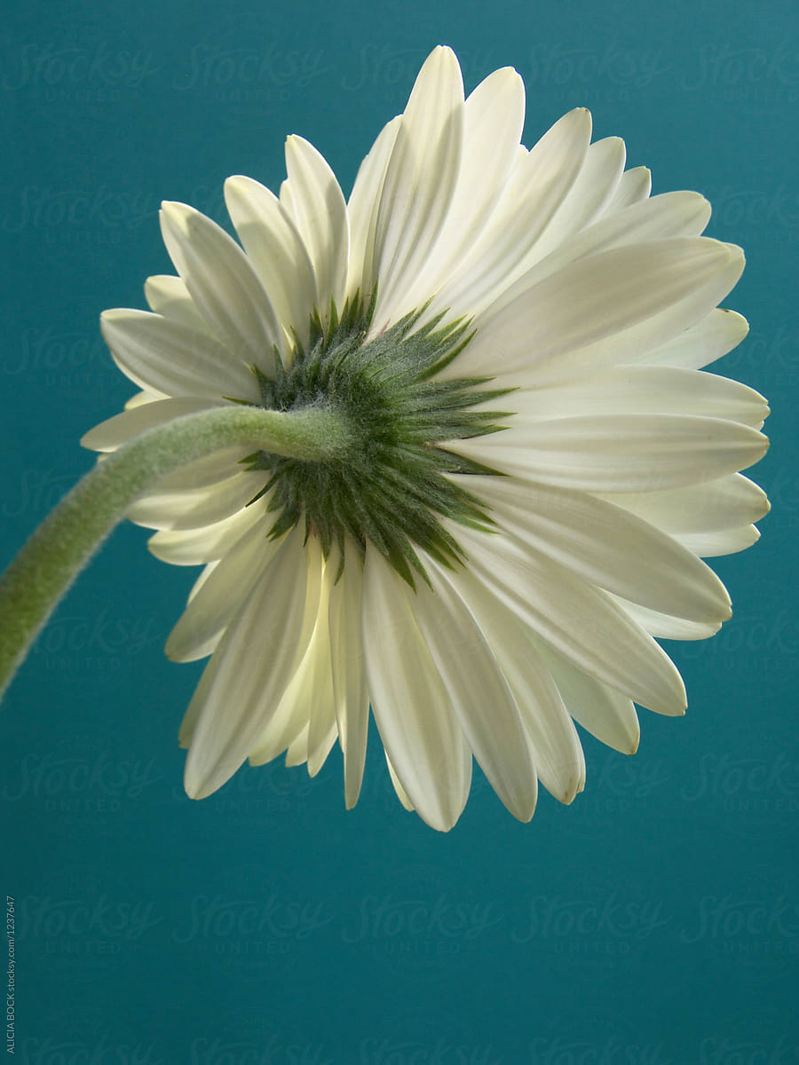 A White Gerbera Daisy Against A Bright Blue Background Stocksy United