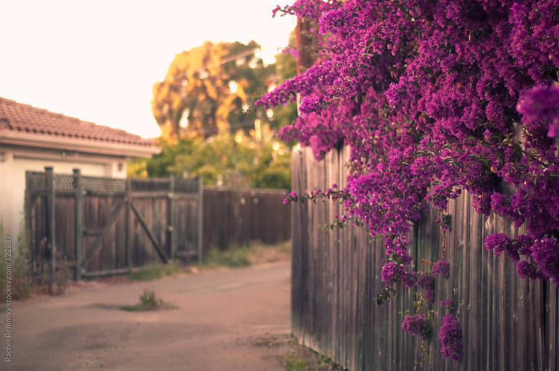 Bright magenta bougainvillea grows over an old fence in a suburban alley by Rachel Bellinsky for Stocksy United
