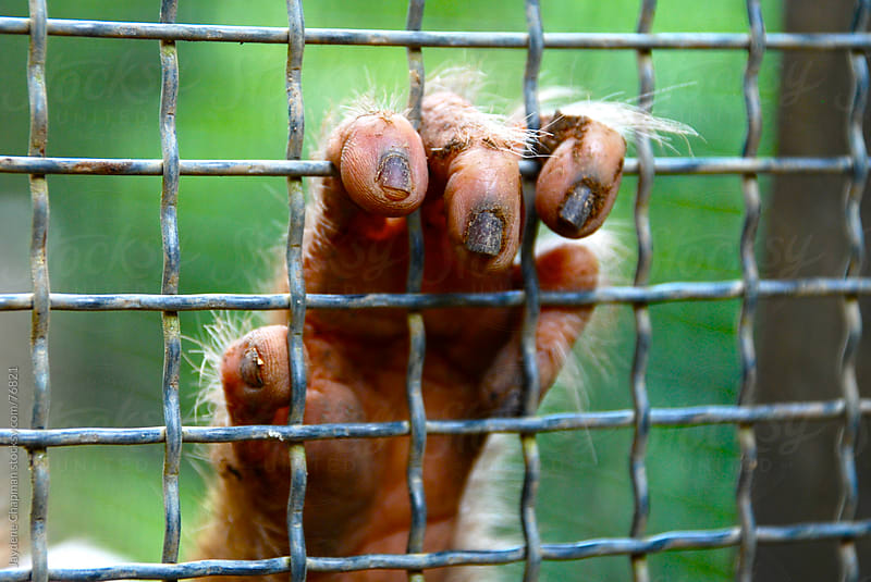 A monkeys dirty fingernails through a cage in Southeast Asia by Jaydene Chapman for Stocksy United