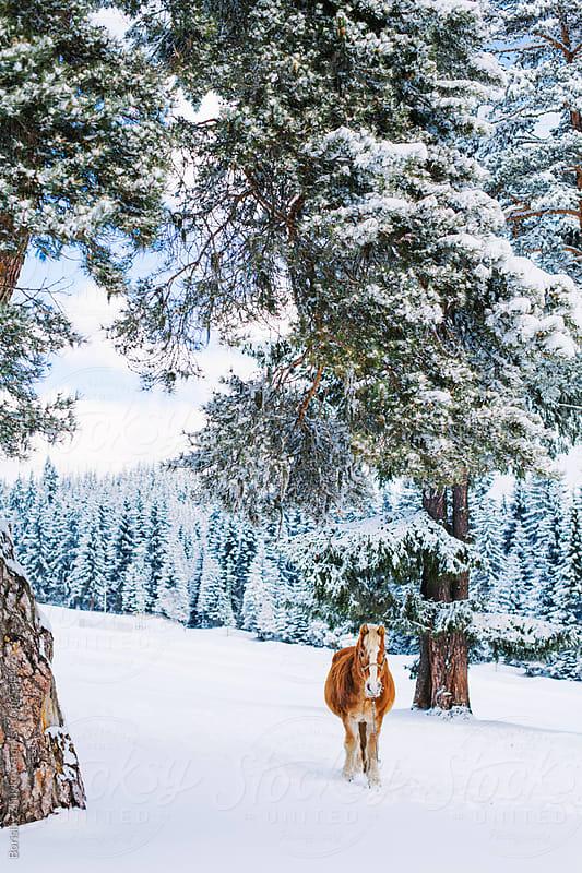 Horse On Winter Day Under Pine Tree by Borislav Zhuykov for Stocksy United