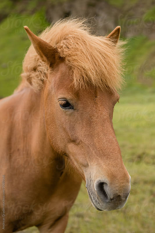 icelandic horse by Andreas Gradin for Stocksy United