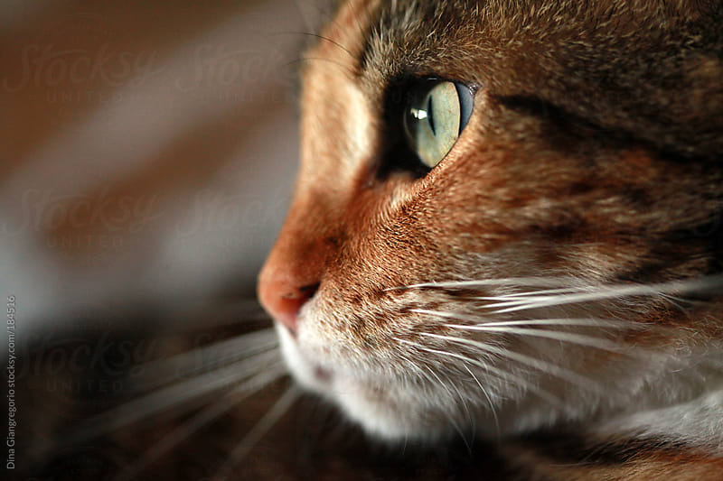 Close up of a calico cats profile by Dina Giangregorio for Stocksy United