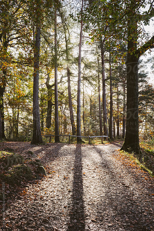 Sunlight through trees casting shadows over woodland path.  by Liam Grant for Stocksy United
